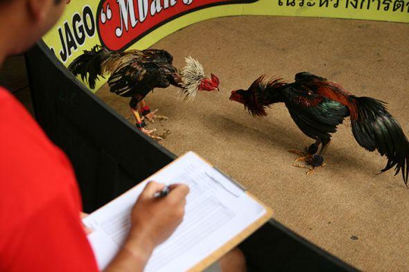 Laman Taruhan Ayam Jago Pukul Mati