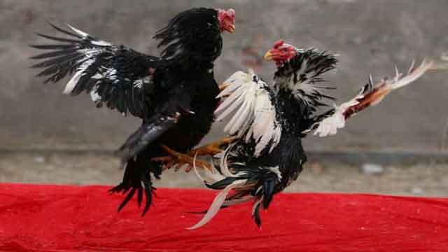 Agen Sabung Ayam Judi Online