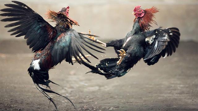 Bandar Judi Ayam Online Terbaik