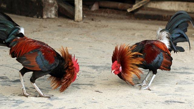 Taruhan Sabung Ayam Online Depo Kecil